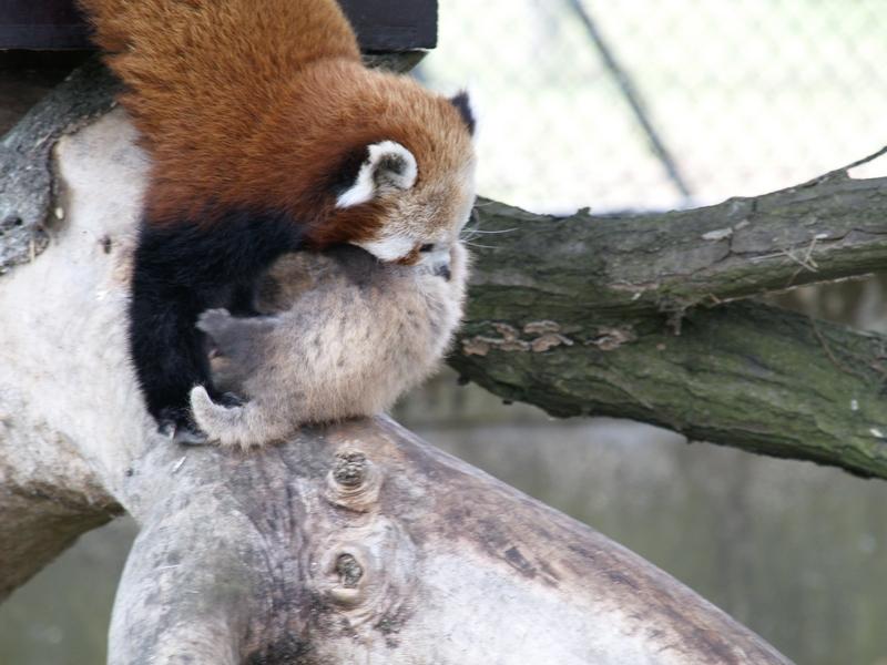 red panda babies. Red Panda Baby » Whipsnade Zoo